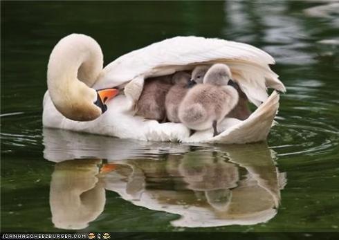 A swanback of goslings